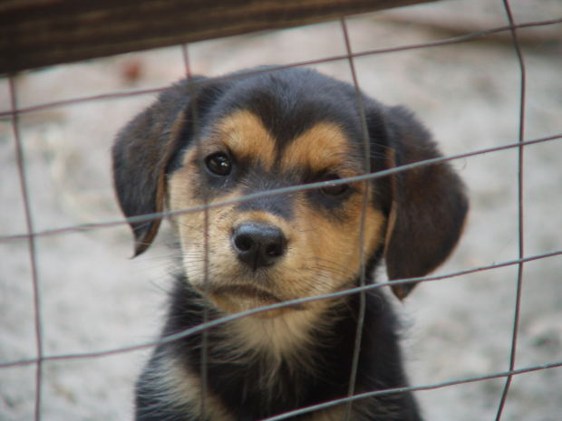 spca puppies for adoption dog breeds picture